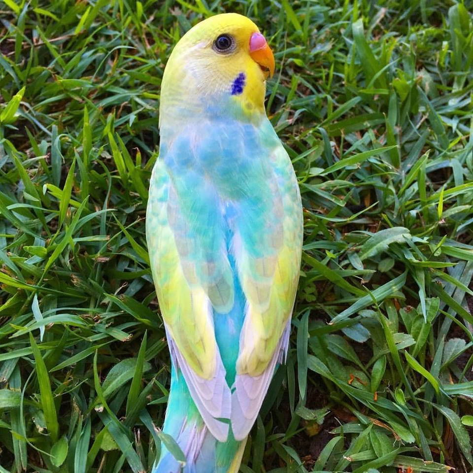 صور طيور الحب 51