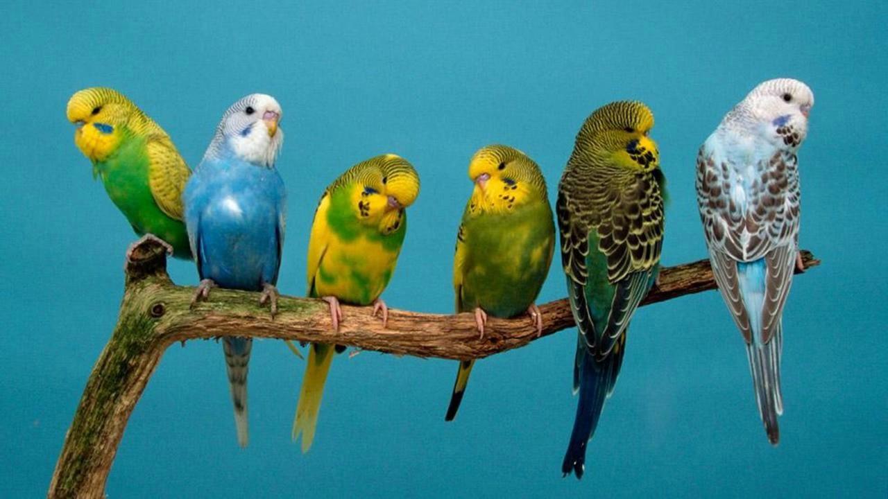 صور طيور الحب 53