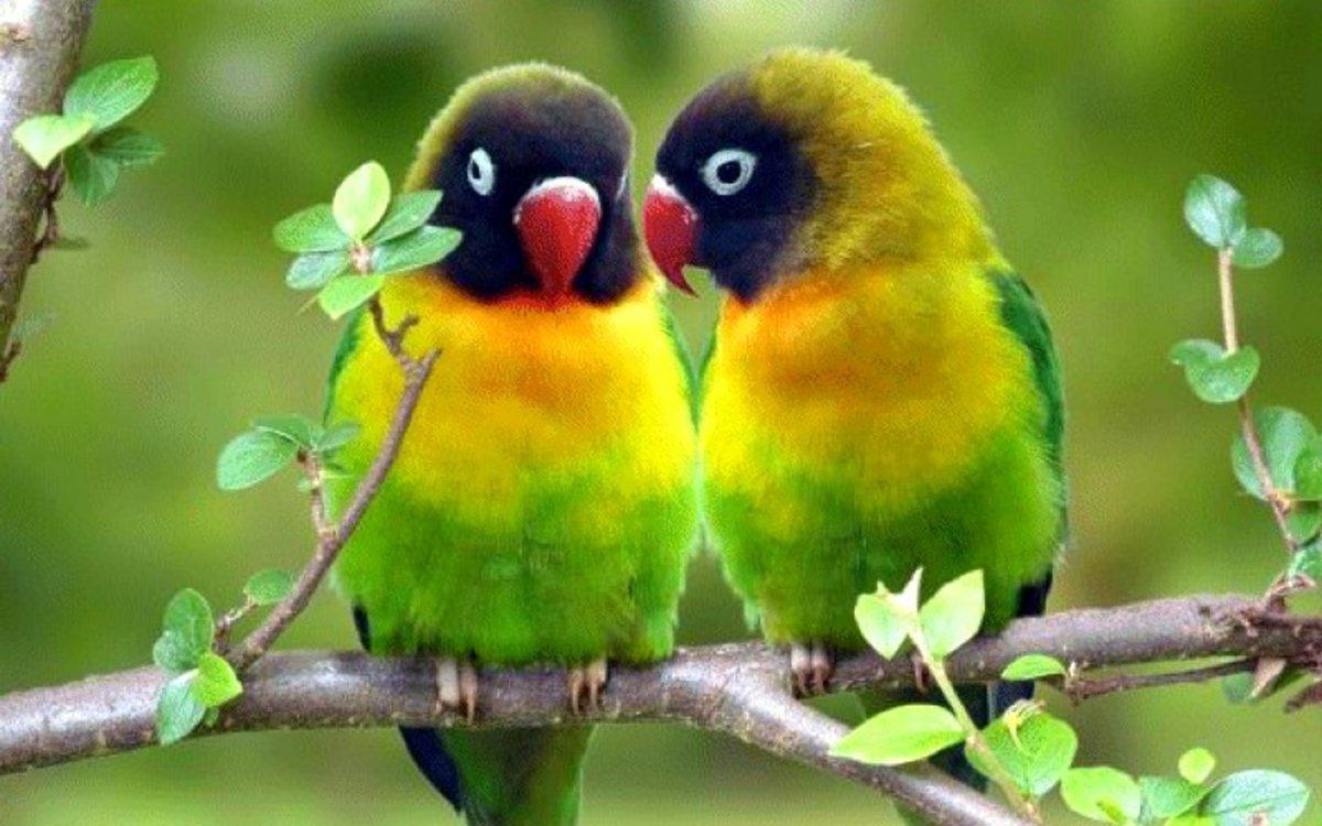 صور طيور الحب 54