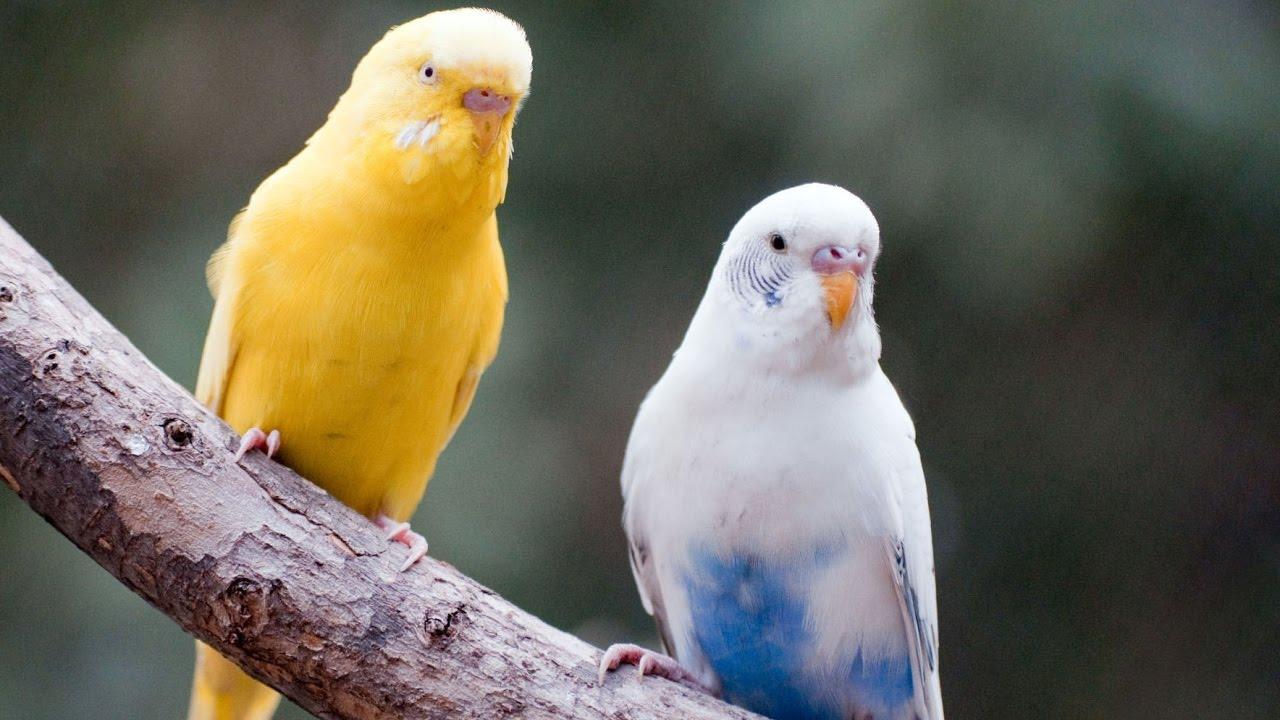 صور طيور الحب 55