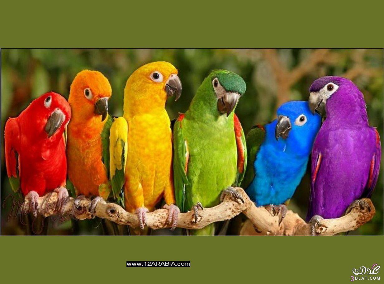 صور طيور الحب 57
