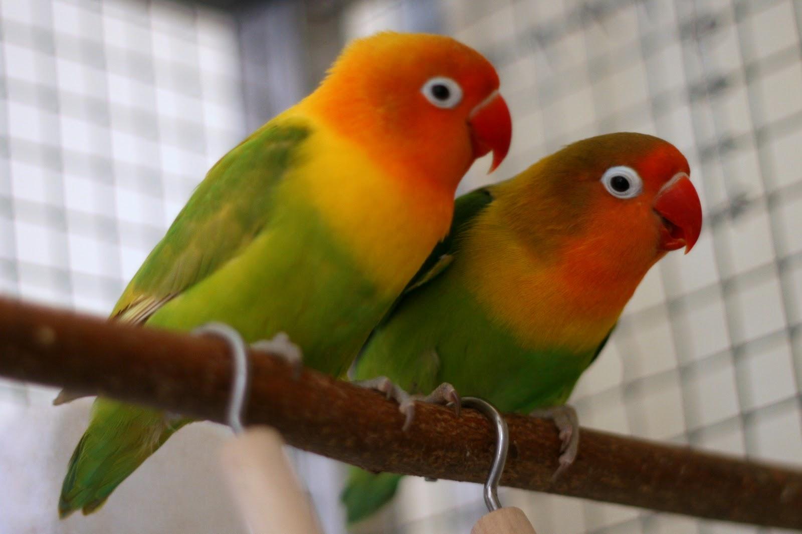 صور طيور الحب 58