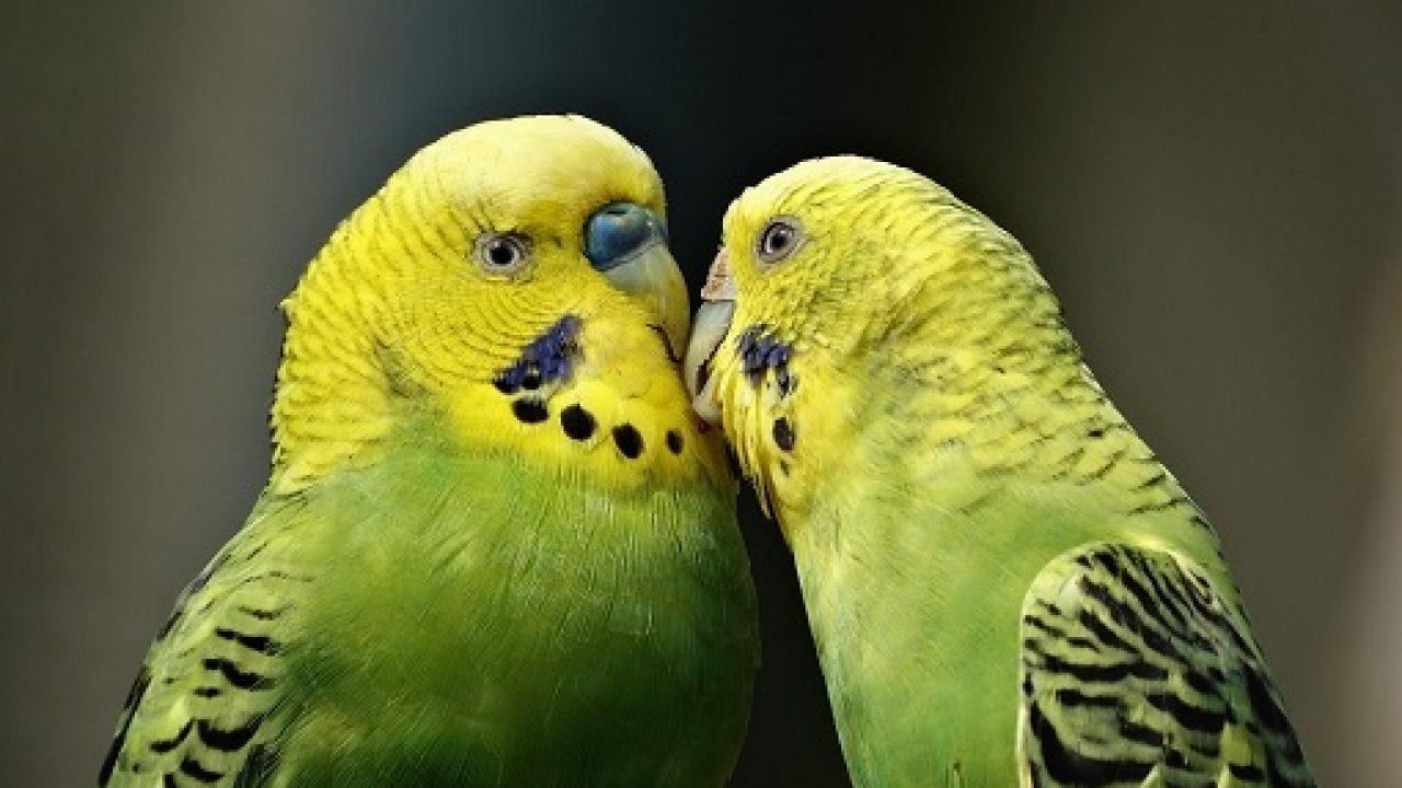 صور طيور الحب 6