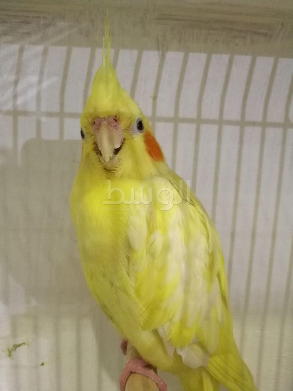 صور طيور الحب 7
