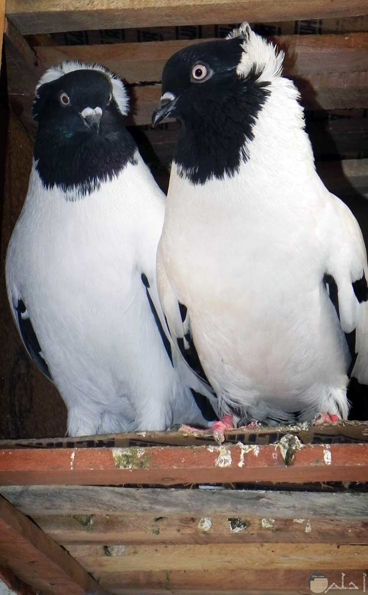 صور طيور الحب 8