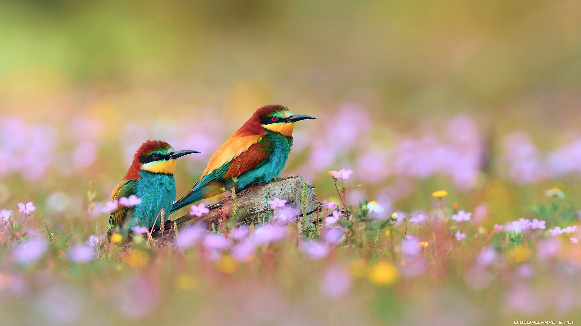 صور عصافير 12