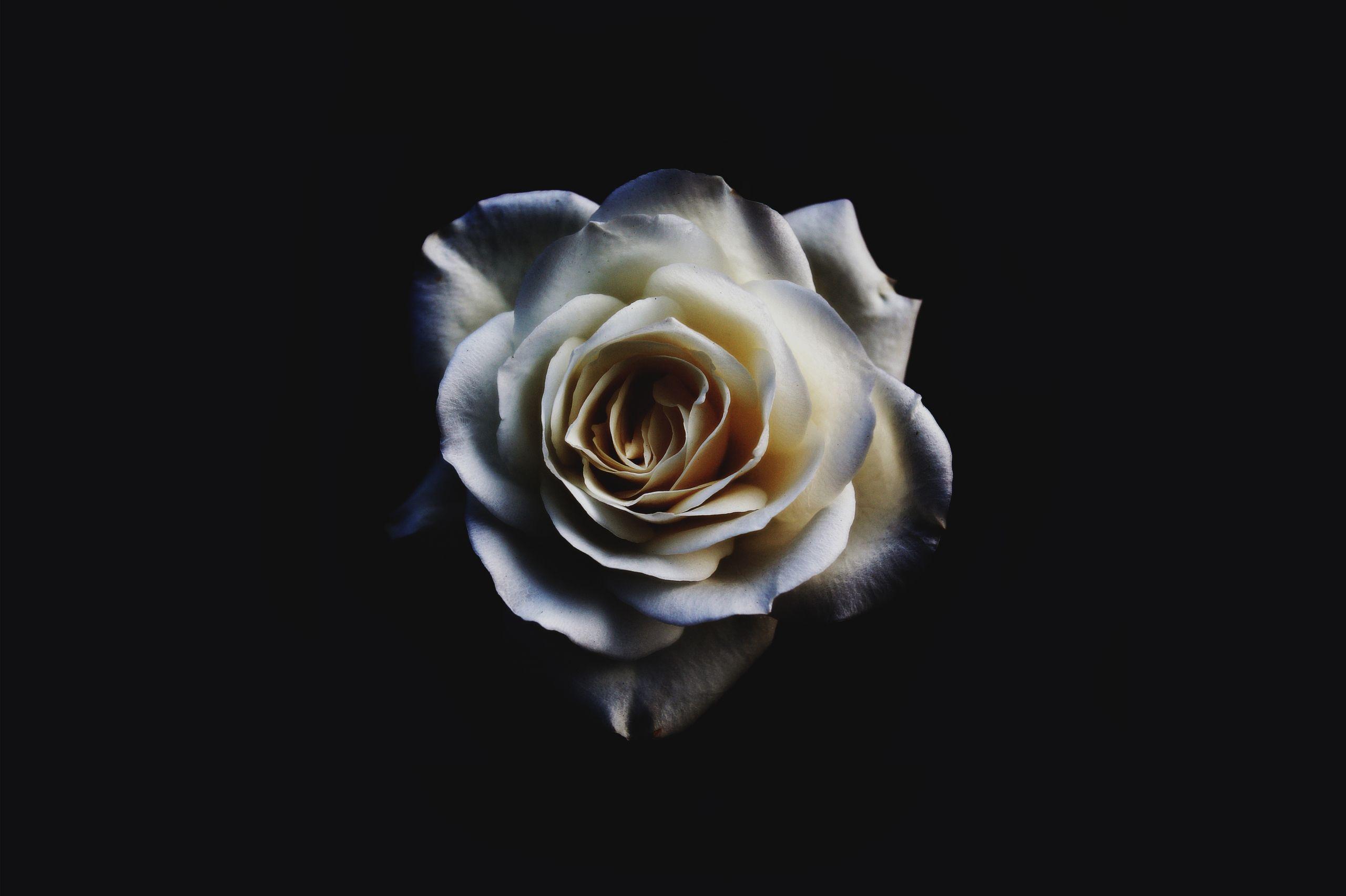 صور ورد جميل صور ورد رومانسى HD 2020 معلومات عن الورد 1