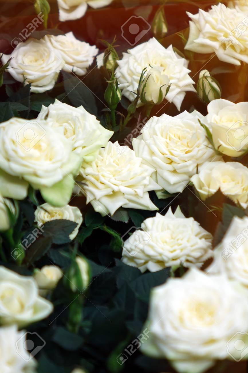 صور ورد جميل صور ورد رومانسى HD 2020 معلومات عن الورد 11