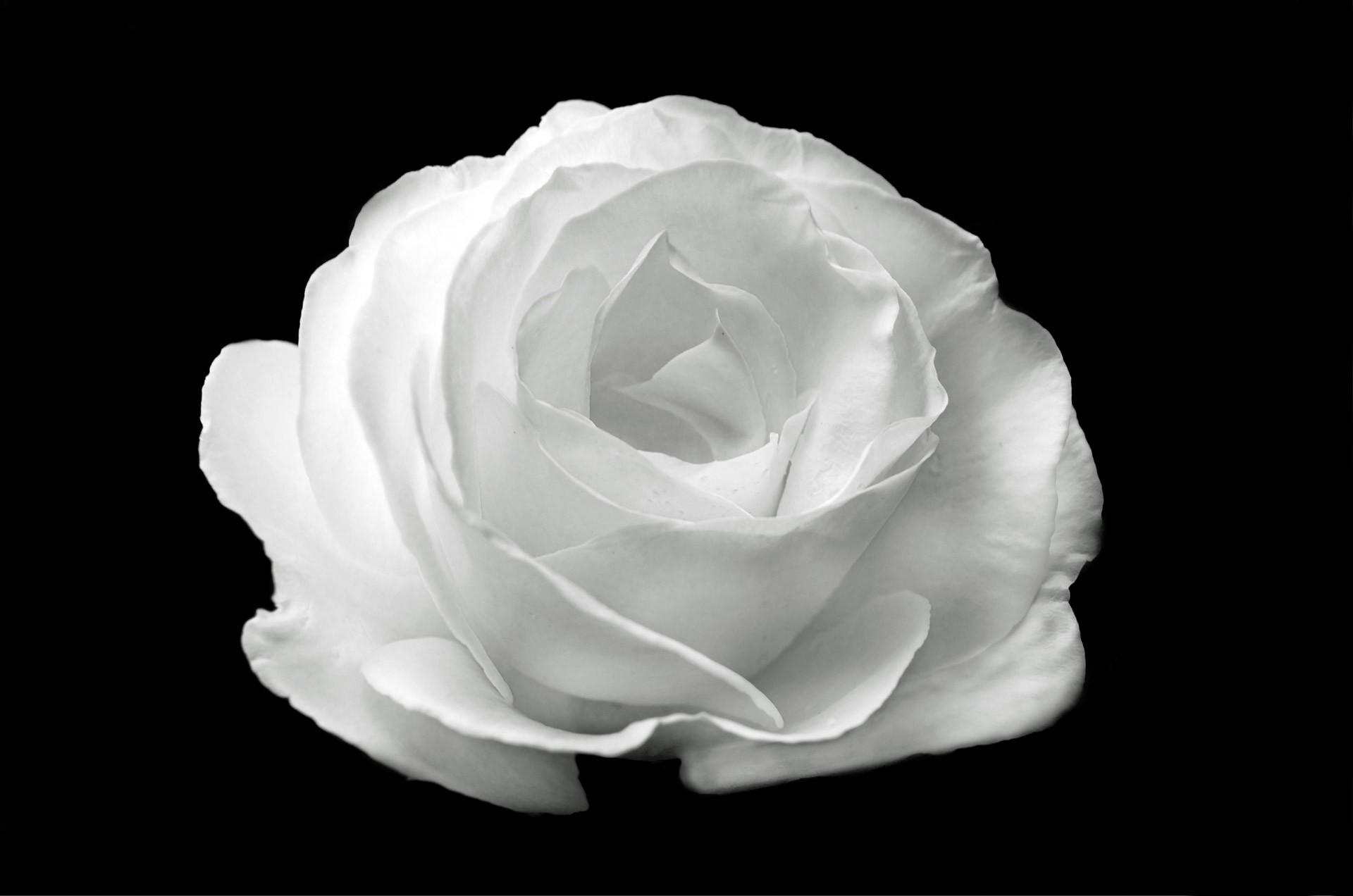 صور ورد جميل صور ورد رومانسى HD 2020 معلومات عن الورد 15