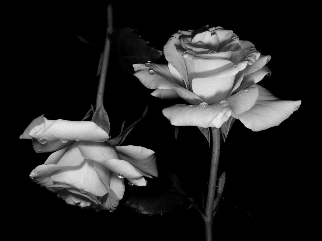 صور ورد جميل صور ورد رومانسى HD 2020 معلومات عن الورد 19