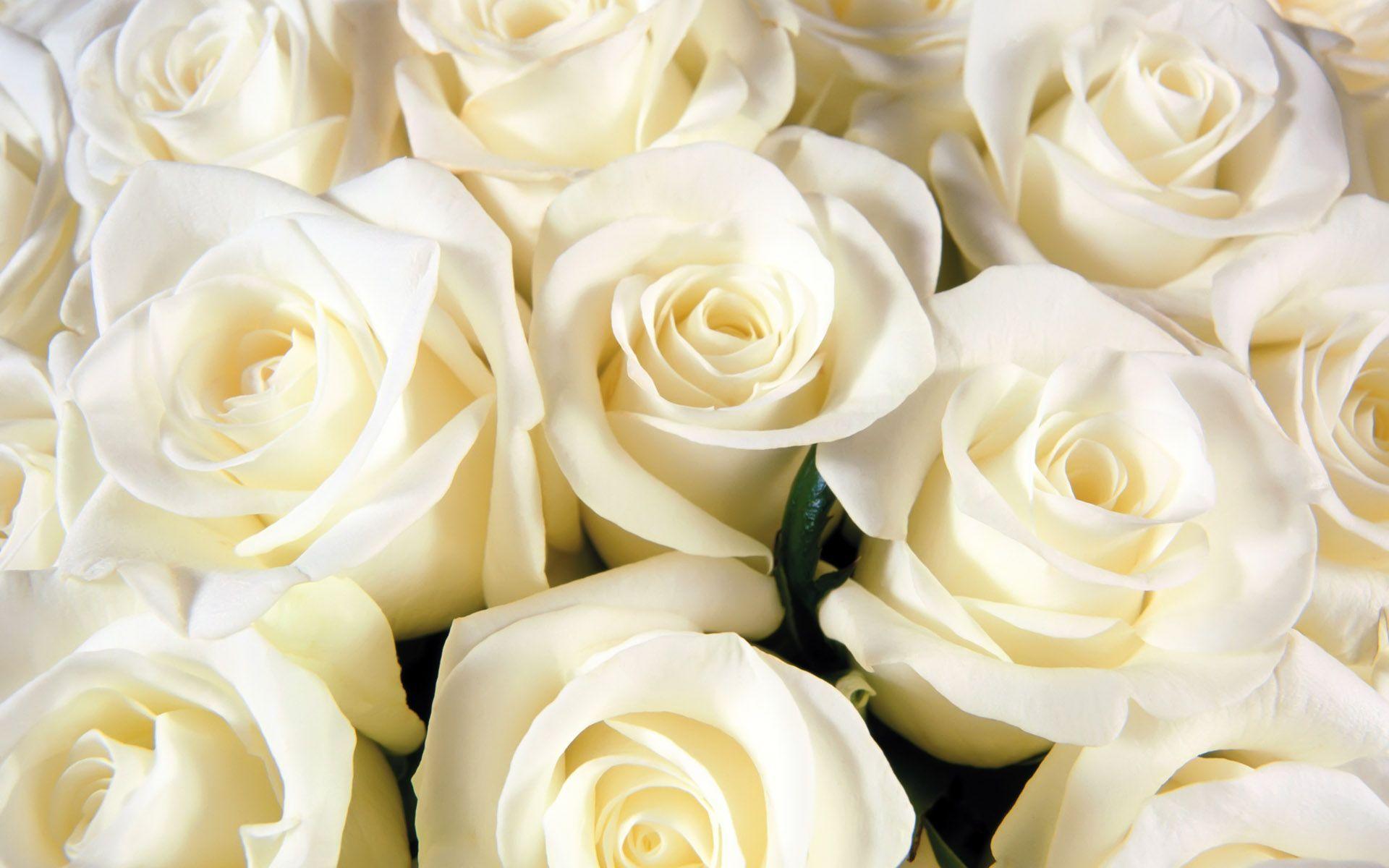 صور ورد جميل صور ورد رومانسى HD 2020 معلومات عن الورد 3