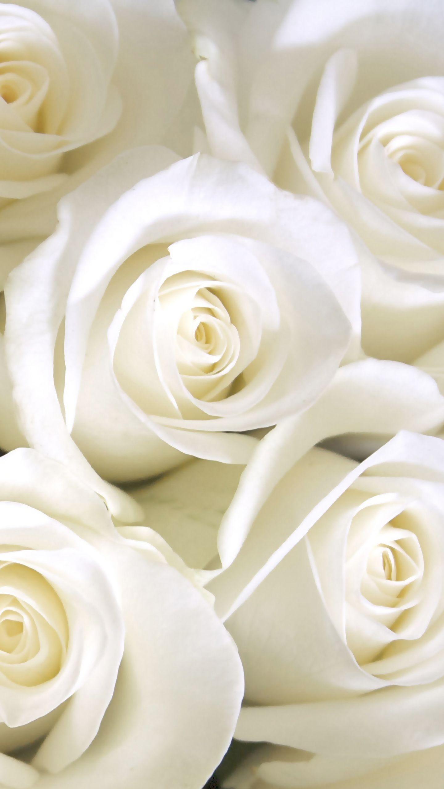 صور ورد جميل صور ورد رومانسى HD 2020 معلومات عن الورد 6