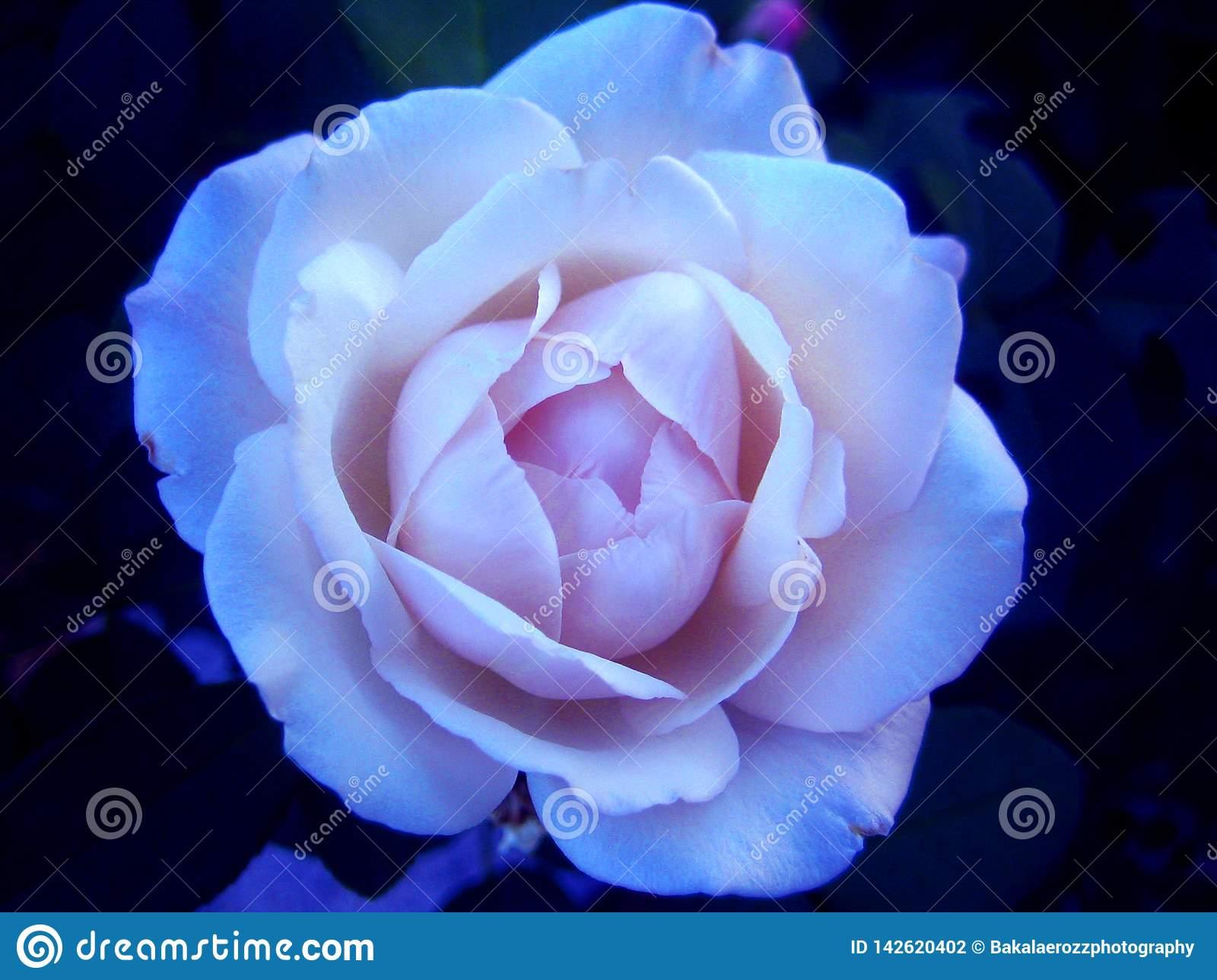 صور ورد جميل صور ورد رومانسى HD 2020 معلومات عن الورد 7